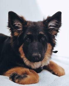 Beautiful Nyla!😍 Follow Nyla 👉 @nyla__gsd #germanshepherds#germanshepherdmemes#germanshepherdphotos#germanshepherddog #gsdstagram#germanshepherdpictures#gsd#gsdphotos #gsdpictures #germanshepherdpuppy #germanshepherdpuppies German Shepherd, German Shepherds, german shepherd community German Shepherd dog, german shepherd memes, german shepherd photos, gsdstagram, german shepherd pictures, gsd, gsdphotos, gsd pictures