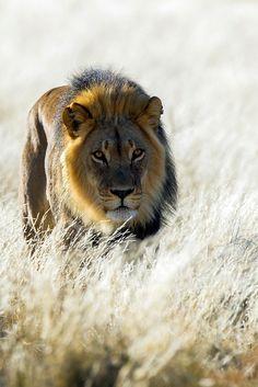 Lion by Bridgena Barnard