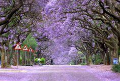jacaranda trees in bloom, south africa