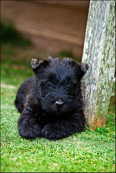 Sir Winston the Scottish terrier puppy by Foto Nomad