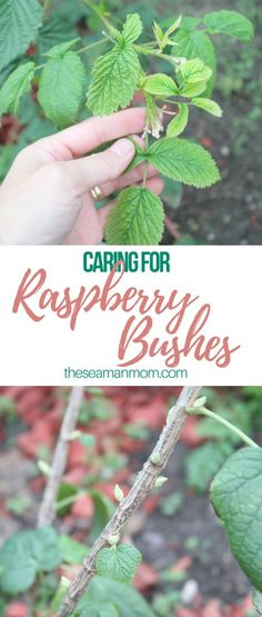 Left alone, raspberry bushes are their own enemy. Here are some tips on caring for raspberry bushes for a very successful raspberry harvest. - Home Decoration Mason Jars, Mason Jar Crafts, Home Design, Modern Design, Raspberry Plants, Growing Raspberries, Gardening Raspberries, Diy Garden, Vegetable Garden