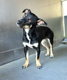 #A476177 Release date 12/4 **Came in with female #A476178 ((next page) I am a female, black and tan Dachshund std mix. Shelter staff think I am about 1 year and 6 months old. I have been at the shelter since Nov 25, 2014.  City of San Bernardino Animal Control-Shelter. https://www.facebook.com/photo.php?fbid=10204017819143372&set=a.10203202186593068&type=3&theater