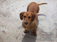 Fotos de perros dachshund: Un dachshund al aire libre