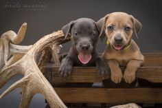 Texas Blue Lacy puppy - tracking - south Texas Lacy dogs
