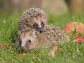 Ježek západní Hedgehog Food, Happy Hedgehog, Cute Little Animals, Little Pets, Hedgehog Tattoo, Fauna, Worlds Of Fun, Exotic Pets, Sea Creatures
