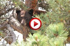 Grizzly Bear Attacks Prey Video #animals, #bears, #videos, #pinsland, https://apps.facebook.com/yangutu