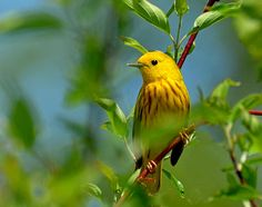 Yellow Warbler - Photography by Rodney Campbell