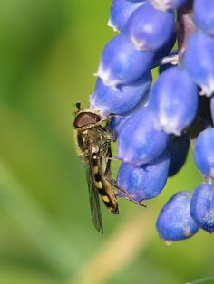 Hover fly on a bluebell