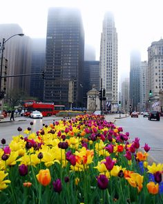 Tulips on the Magnificent Mile (Chicago Pin of the Day, 3/15/2014).