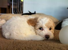Being blind didn't hinder puppy Falcor we love him!