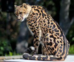 Genetics behind spots on chetah, tabbies
