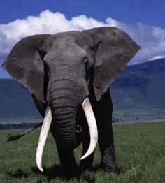 Your African Safari : Elephant at Ngorongoro Crater, Tanzania Elephant Pictures, Elephants Photos, Save The Elephants, Bull Elephant, Asian Elephant, Elephant Love, African Animals, African Safari, Wild Life