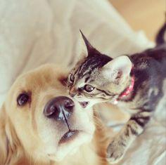 【画像あり】子猫を育てるゴールデンレトリバーが可愛すぎると海外で話題に 【翻訳】