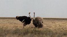 Ostrich, Tanzania