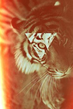 Gorgeous tiger love