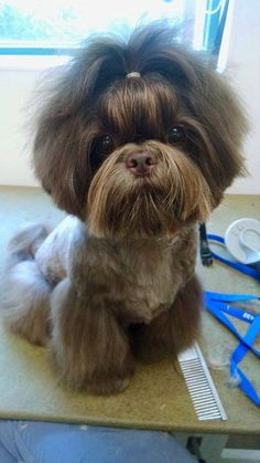 """Learn additional relevant information on """"shih tzu dog"""". Browse through our site… Learn additional relevant information on """"shih tzu dog"""". Browse through our site. Chien Shih Tzu, Perro Shih Tzu, Shih Tzu Puppy, Shih Tzus, Shitzu Puppies, Cute Puppies, Dogs And Puppies, Cute Dogs, Doggies"""