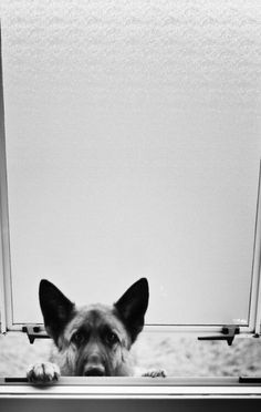 peek-a-boo German Shepherd