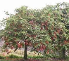 amerstia nobilis - Pesquisa Google
