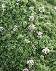 Low-Maintenance Plants and Dwarf Shrubs | DIY Low Maintenance Landscaping, Low Maintenance Plants, Yard Maintenance, Wooly Thyme, Garden Mum, Garden Tips, Garden Ideas, Rain Garden, Gardens