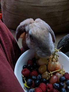 Blueberry thief! #bunnies #rabbits #pets #cuteanimals