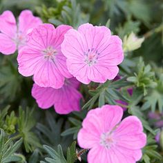 'perennial geranium' for groundcover in eastern flower bed