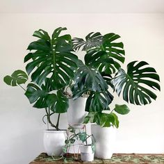 """1,262 Likes, 13 Comments - TropicaLoco (@tropicaloco) on Instagram: """"It was time for a new Monstera family portrait #monstera #monsteraadansonii #monsteradeliciosa…"""""""