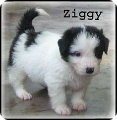 Marlborough, MA - Australian Shepherd/Tibetan Terrier Mix. Meet Ziggy - A face to love a Puppy for Adoption.