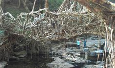 """See 17 photos and 3 tips from 85 visitors to Jingmaham Living Roots Bridge. """"The bridge is very beautiful! Roots, Bridge, Beautiful, Legs, Attic Rooms"""