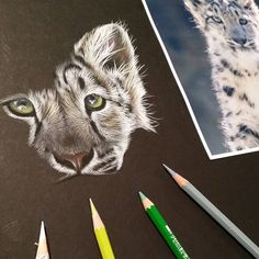 """2,898 Likes, 26 Comments - Sarah Stribbling (@sarahstribblingwildlifeart) on Instagram: """"Current work in progress. Snow leopard cub in @caran_dache supracolor soft colour pencils on black…"""""""