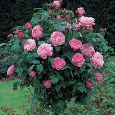 Mary Rose by David Austin Roses לא נמצא בארץ