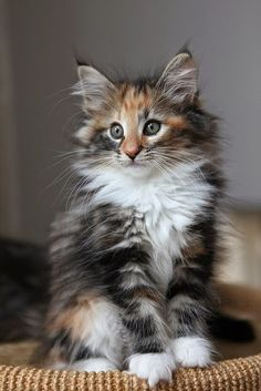 Norwegian Forest Cat kitten. They have such a distinct look! Cutest kittens in the WORLD. <3