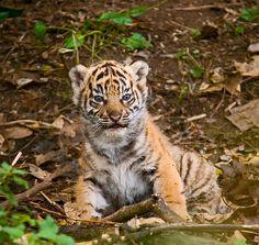 (via Tiger Cub Jungle Animals, Cute Baby Animals, Wild Animals, Tiger Art, Tiger Cubs, Bear Cubs, Tiger Photography, Wildlife Photography, Big Cats