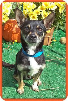 Act quickly to adopt Pets at this Shelter may be held for only a short timeMarietta, GA - Chihuahua Mix. Meet PAX a Dog for Adoption.