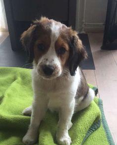 Caesar the kooikerhondje dog #puppy