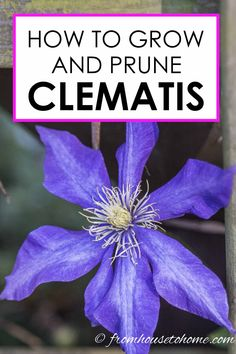 Learn how to prune, grow and care for Clematis vines to get those big purple, blue and pink blooms in your garden. This guide includes lots of pictures and a list of the best varieties to grow for your garden design. Clematis Care, Blue Clematis, Clematis Trellis, Clematis Plants, Autumn Clematis, Garden Plants, Fruit Garden, House Plants, Clematis Flower