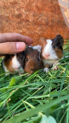 Relaxing baby guinea pigs