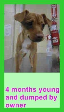 4 MONTH OLD CHI PUP DUMPED BY OWNER NEEDS PLEDGES AND RESCUE! A4796795 My name is Ginger and I'm an approximately 4 month old female chihuahua sh. I am not yet spayed. I have been at the Downey Animal Care Center since February 1, 2015. I am available on February 1, 2015. You can visit me at my temporary home at DRECEIVING. https://www.facebook.com/photo.php?fbid=806637546083246&set=pb.100002110236304.-2207520000.1422968839.&type=3&theater