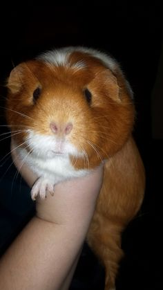 One of my guinea pigs, Butterball. :)