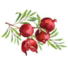 Find Watercolor Fruit Pomegranate Branch stock images in HD and millions of other royalty-free stock photos, illustrations and vectors in the Shutterstock collection. Thousands of new, high-quality pictures added every day.