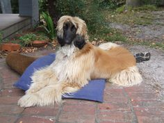 Charlie and her bed Goofy Dog, Afghan Hound, Bed, Dogs, Animals, Animales, Stream Bed, Animaux, Pet Dogs