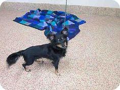 Springfield, MA - Miniature Pinscher/Chihuahua Mix. Meet KENJI a Dog for Adoption.