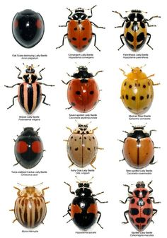 "Insects, Variety of Lady Bug like Beetles: ""Never knew there were so many different kinds of lady bugs! Beautiful Bugs, Beautiful Pictures, Bugs And Insects, Insects Names, Garden Pests, Garden Bugs, Garden Insects, Fauna, Permaculture"