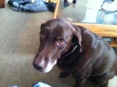 Brownie Female Chocolate Labrador Retriever in Jacksonville, FL  10 yrs likes dogs no cats no info on kids