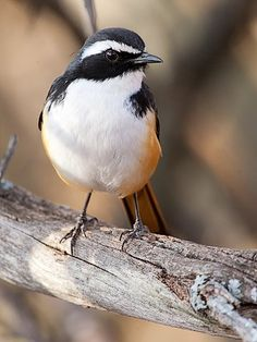 White-throated Robin | Irania gutteralis