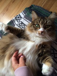 This cat shares my name Pretty Kitty, Pretty Cats, Cute Cats, Stunningly Beautiful, Beautiful Cats, The Great Catsby, Animals And Pets, Cute Animals, Siberian Cat
