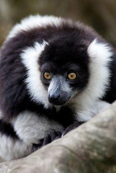 Lemur by Sera.D.**