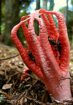 Clathrus archerii - commonly known as Octopus Stinkhorn, is indigenous to Australia and Tasmania and an introduced species in Europe, North America and Asia. The young fungus erupts from a suberumpent egg by forming into four to seven elongated slender arms initially erect and attached at the top. The arms then unfold to reveal a pinkish-red interior covered with a dark-olive spore-containing gleba. In maturity it smells of putrid flesh.