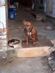 URGENT!!! Living outside is an adoptable Pit Bull Terrier Dog in Hagerstown, MD. URGENT! This is Jezzy, short for Jezzabelle. She is a 10 year old pit bull mix who has given her whole life to her fami...