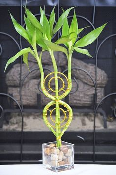 Dream Catcher Lucky Bamboo Plant Arrangement Houseplant Best GIft New Bamboo Landscape, Bamboo Care, Lucky Bamboo Plants, Bamboo Planter, Bamboo Basket, Bamboo Architecture, Bamboo Crafts, Plant Crafts, Bamboo Design