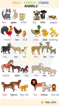 Baby Animal Names! What are the names of baby animals and their parents in English? Learn these young, male and female animal names with ESL pictures to increase your vocabulary words in English. Learning English For Kids, English Lessons For Kids, Kids English, English Language Learning, English Study, English English, English Class, Gender In English, Learning Italian